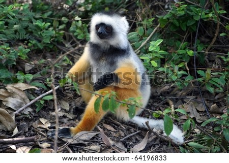 Large lemur: a large lemur in its natural environment, a rain forest in Madagascar. - stock photo