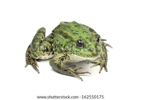 large light green speckled frog on a white background
