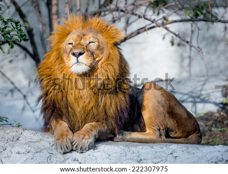 large lion lying on a stone in the park