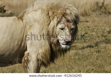 Large Lion Male