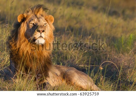 Large lion male overlooks a grassland in search of prey.