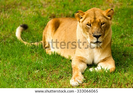 Large Lioness In A Lazy Pose Shoot In A Zoological Garden - stock photo
