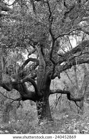 Large Live Oak Tree with Hanging Spanish Moss - stock photo