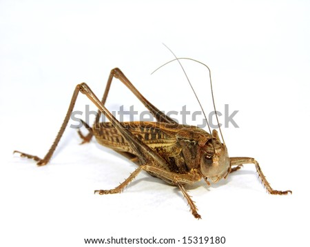 large locust closeup on white background