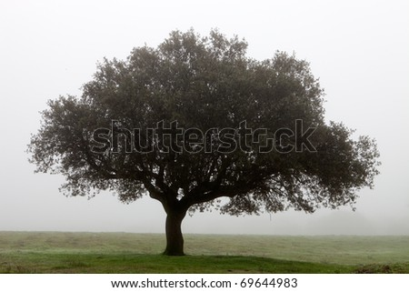 Large lone tree surrounded by fog - stock photo