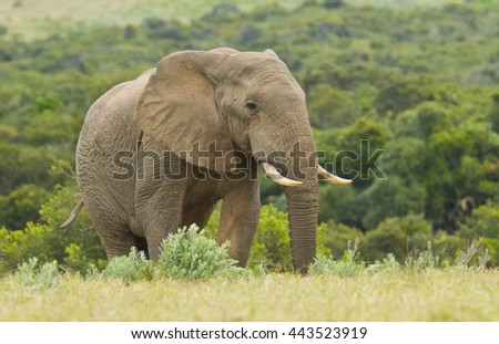 Large lonely elephant walking through long grass towards a water hole  - stock photo