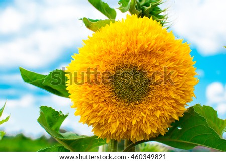 Large lush sunflower bloom in the field