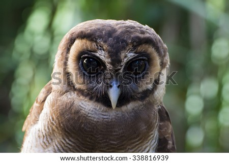 Large Male Adult Brown Spotted Owl - stock photo