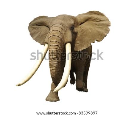 Large male African elephant - stock photo