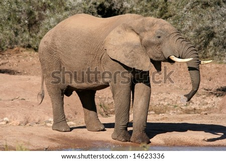 Large male African elephant drinking at a waterhole