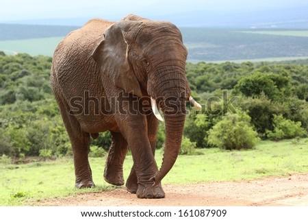 Large male African elephant walking in the bush veld - stock photo
