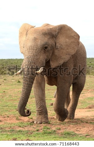 Large male African elephant walking with trunk outstretched - stock photo