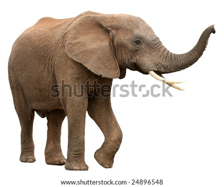 Large male African elephant with long curved tusks - isolated - stock photo