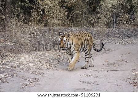 Large male Bengal tiger out for a stroll in Bandhavgarh national park, India - stock photo