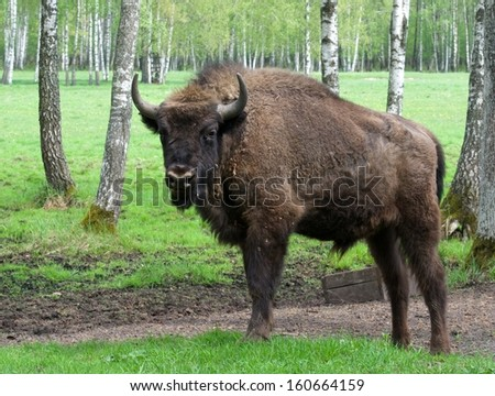 Large male bison in the forest, bison in grasslands, wild Plains Bison, European Bison (Bison bonuses) close up with selective focus and green nature background - stock photo