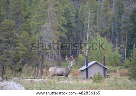 Large Male Deer