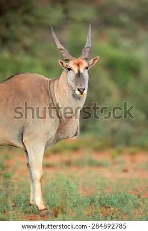 Large male eland antelope (Tragelaphus oryx), South Africa - stock photo
