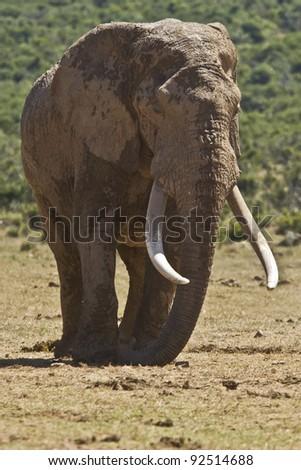 Large male elephant having an afternoon sleep - stock photo