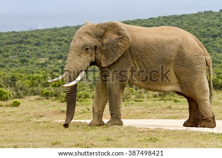 Large Male elephant in Must standing in the road on a hot summers day