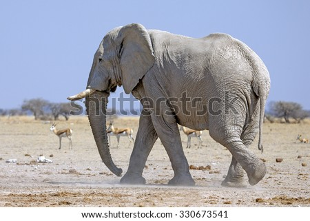 Large male elephant on the Kalahari Desert