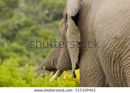 large male elephant reaching with its trunk for a delicate yellow flower - stock photo