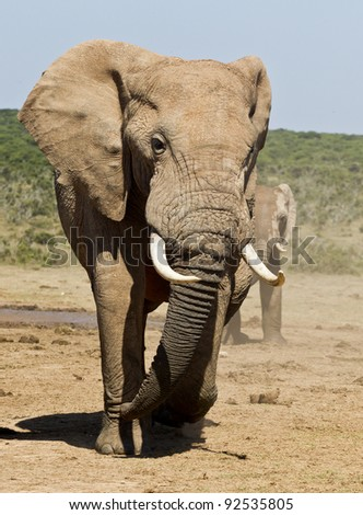 Large male elephant walking away from a watering hole - stock photo