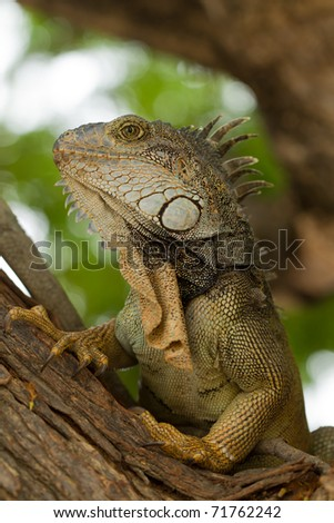 Large male iguana in his natural habitat. - stock photo