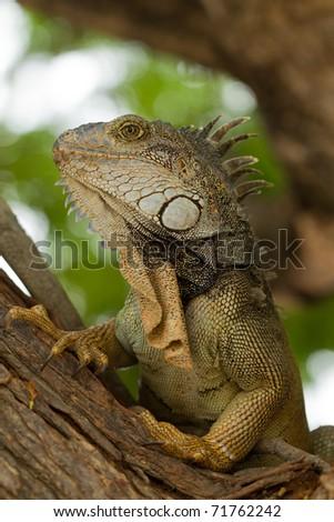 Large male iguana in his natural habitat. - stock photo