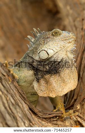 Large male iguana in natural habitat. - stock photo