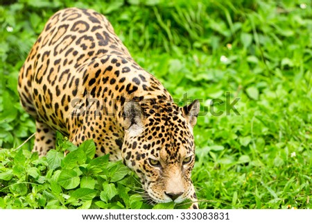 Large Male Jaguar In The Wild Shoot In The Ecuadorian Tropical Forest From Close Range - stock photo
