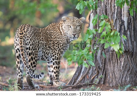 Large male leopard busy marking his territory on tree looking back - stock photo