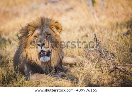 Large male lion lying in grass in Botswana - stock photo