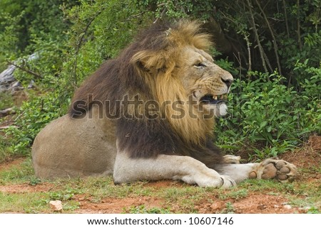 Large Male lion shows his displeasure having his picture taken - stock photo