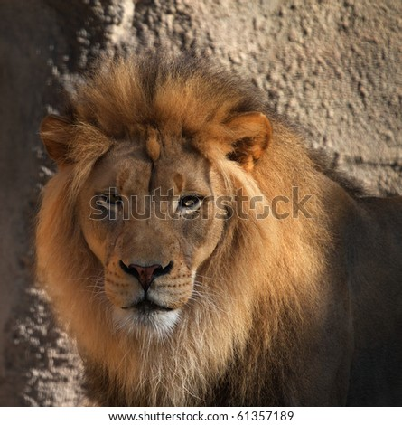 Large male Lions head looking at camera with soft background - stock photo