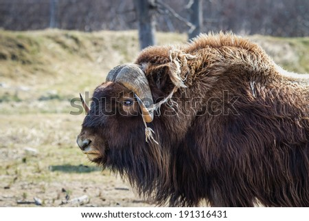 Large male Musk-ox - stock photo
