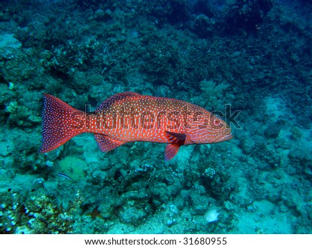 Large male of Red coral grouper near the coral reef - stock photo