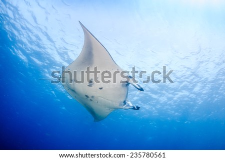 Large Manta Ray over a tropical coral reef - stock photo