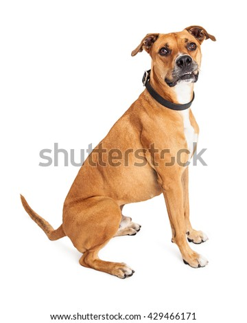 Large mixed Boxer breed dog sitting to side over white background