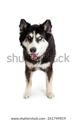Large mixed husky breed dog with open mouth and happy expression. Image taken isolated on a white studio background.