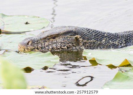 Large monitor lizard in canal - stock photo