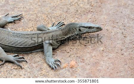 Large monitor lizard in nature. Sri Lanka island - stock photo