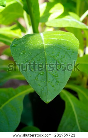 Large morning dew drops covering the large leaf of a tobacco plant as the sun rises, illuminating the top of the plant. - stock photo