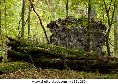 Large moss wrapped tree lying, deciduous autumnal forest