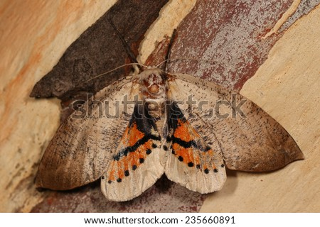 Large moth with open wings - stock photo