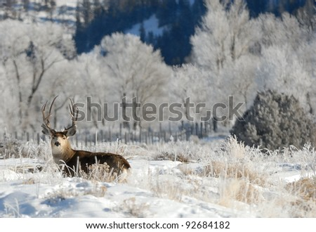 Large Mule Deer Buck staying low from hunters in the late fall. There is snow on the ground and frost in the trees. He is alert and watching for danger.