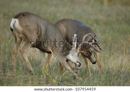 Large Mule Deer Fighting during the Rut - stock photo