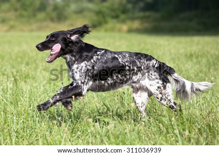Large munsterlander dog running - stock photo