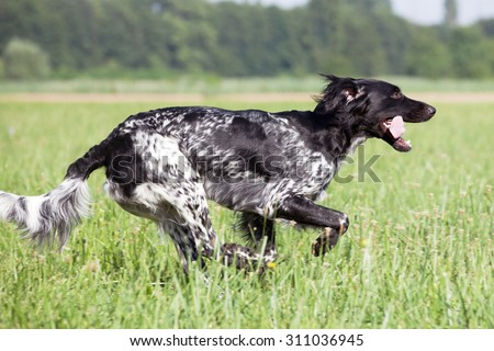 Large munsterlander dog running - stock photo