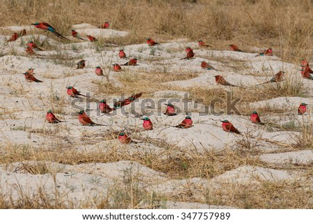 large nesting colony of Nothern Carmine Bee-eater (Merops nubicoides) on bank of the Zambezi river in Caprivi Namibia, Africa - stock photo