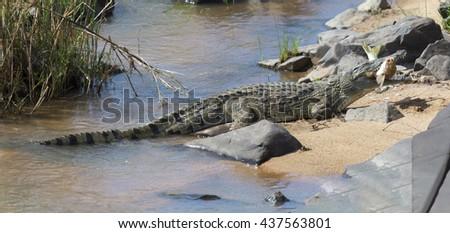Large nile crocodile eat a fish on the river bank - stock photo